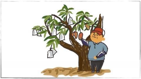 真的假的?台灣芒果超級強,農民用外來種改出本土種?