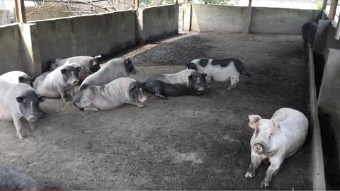 養豬不吃豬 駱鴻賢的豬豬天堂陪伴動物到老