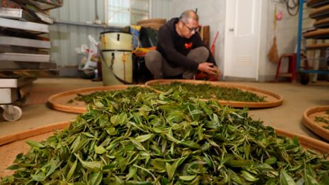 科技人返鄉種茶 外銷日本成化妝品原料